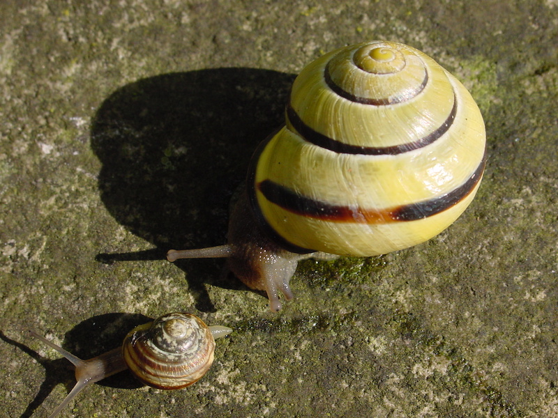 Hamburg Snails