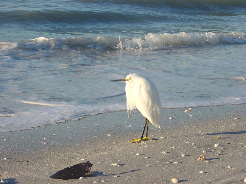 Contemplating Egret